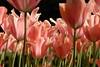 Pink tulips at Keukenhof (The Sandy) Tags: flowers flower netherlands tulips nederland tulip bloemen bollen keukenhof tulpen bloem tulp lisse pinktulip rozebloem tulpenbol