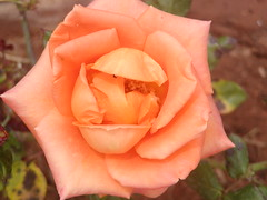 M-H.Belkorchi 2008 Rabat Maroc (hosnitek) Tags: color nature rose explorer top20colorpix hosni platinumphoto colourartaward top20everlasting flowermacroworld excellentsflowers natureselegantshots mimamorflowers flickrbestpics awesomeblossoms floreporlapaz