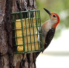 Woody (dws1724) Tags: nature birds woodpecker texas pentax wildlife redbelliedwoodpecker onlyyourbest onlyyourbestshots tamron70300mmf456dildmacro tamronaf70300mmf456dildmacro k200d justpentax