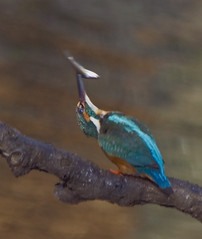 Kingfisher About to Stun a Fish (aeschylus18917) Tags: park fish bird nature birds japan nikon wildlife feathers kingfisher   d200 nerima  80400mm stun nerimaku commonkingfisher alcedoathis 80400mmf4556dvr shakujikoen  pxi    nictitatingmembrane 80400mmf4556vr tokyo  shakujipark  danielruyle aeschylus18917 danruyle druyle   shakujiiken