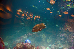 Fisheye (Ken Cruz --- Fernweh) Tags: fish fisheye aquarium reflection football helmet seattle seattleaquarium seattlewaterfront nature lights hdr oneeye cyclops seahawks seahawk