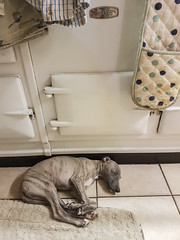 It's Growing! 52/365 (rmrayner) Tags: whippet puppy aga sleeping 52365 365daysof2017 365project 365the2017edition