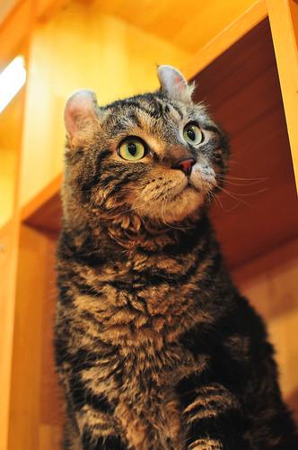 American Curl 03 / Cat Tail Ikoma