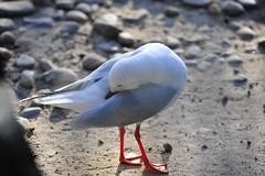 Seagull (picsie14) Tags: animals interestingness interesting wildlife sydney australia nsw featherdale 80400mm australiananimals interestingness2 longlens d700 nikond700