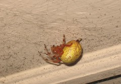 Spider (ccarl_03) Tags: spider orb weaver marbled