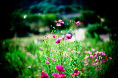 cosmos (moaan) Tags: life leica pink flower green sunshine 50mm dof shine bokeh south f10 flowering noctilux cosmos leicam7 2007 m7 hopeful rvp hillock fujivelvia fullofhope explored hummock fujirvp inlife leicanoctilux50mmf10 bokehwhores liveinhope gettyimagesjapanq1 gettyimagesjapanq2
