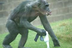 Chimpanzee (tim ellis) Tags: animal ape primate chimpanzee twycrosszoo enrichment bedlam msh110720 msh1107