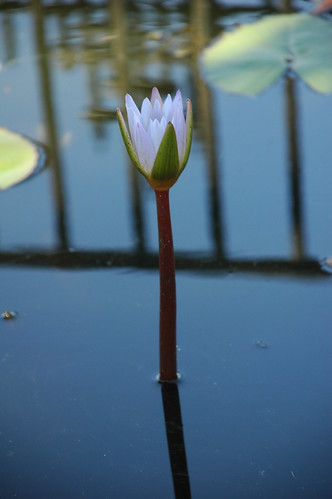 Water Lily, Narrows Botanical Garden