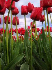 nodding tulip (Seattle rainscreen) Tags: red flower washington tulips skagitvalley skagitvalleytulipfestival laconner