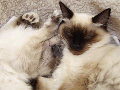 DSCI0032 (phildingo) Tags: cute furry adorable fluffy siamese kittens cuddly himalayan zeek finnian burmin