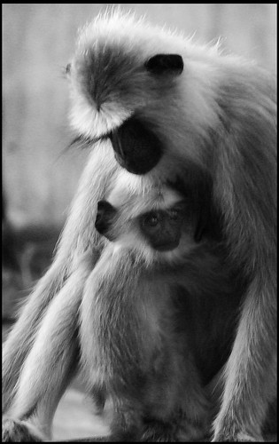 Langur affection
