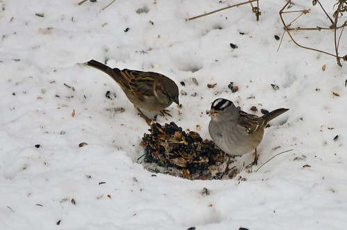 Sparrows sharing the fruit and nut log