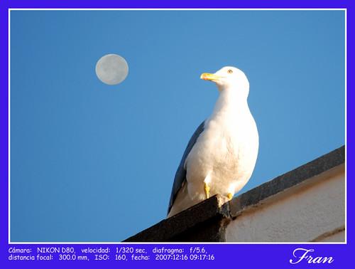Gaviota mirando la Luna