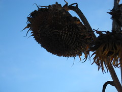sunsetflower3 (big-diehl) Tags: blue sky dead sunflower wilted wilting sunsetflower