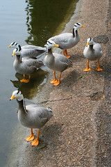 Follow My Leader (Ian Lambert) Tags: park lake london wet water animal st swim geese pond walk goose shore captive jamess naturesfinest anserindicus flickrelite barredheadedgoose