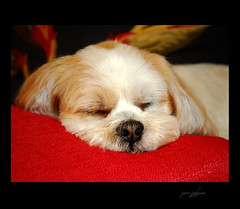 My Monday Mood (Jerri Johnson (away)) Tags: sleeping red dog cute puppy nikon d200 kiwi redandblack lhasaapso naturesfinest mybabygirl mywinners abigfave supershots theunforgettablepictures