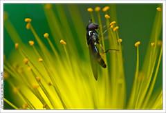 I love pollen (van der Voorden Photography) Tags: flowers plants macro yellow fly spain nikon vivid spanien d300 macrolicious micronikkor60mmf28 golddragon mywinne