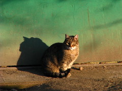 golden afternoon (_Szarlej_) Tags: cats animals cat feline chat poland kot tarnow