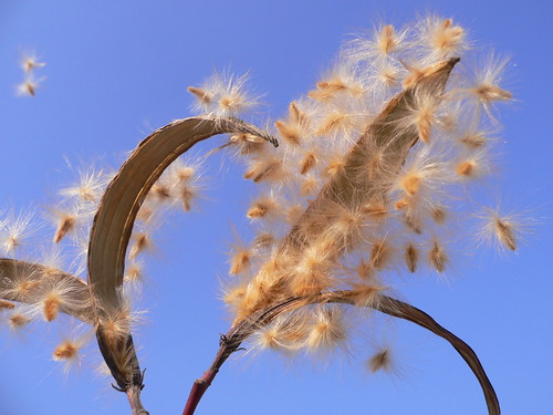 Semi di Oleandro nel vento della vita