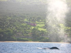 spouting (bluewavechris) Tags: ocean life sea water animal mammal hawaii marine pacific maui whale humpback creature