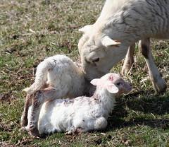 Lambing on pasture