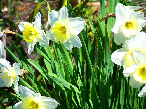 daffodils 10