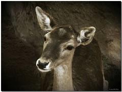 Bambi (SantiMB.Photos) Tags: barcelona espaa animal zoo spain bravo searchthebest deer catalunya soe ciervo naturesfinest draganized cervus cervuselaphus fineartphotos abigfave holidaysvacanzeurlaub theperfectphotographer