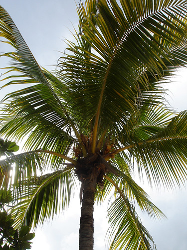 palm tree with dangerous fruits