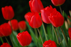 Tulips on Black (Jeremy Stockwell) Tags: flowers red summer black green spring nikon soft glow tulips softness indiana onblack glows d40 sooc jeremystockwellpix nikond40 myindianasummer gaitherspring