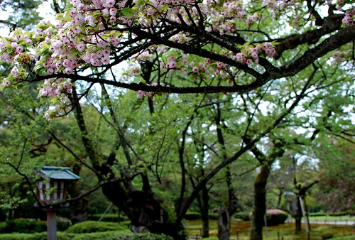 兼六園菊桜(Kenrokuen-kikusakura)