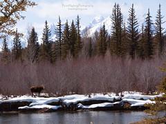 Gros Ventre Moose (bNYB) Tags: mountains river spring moose wyoming calf grandteton grosventre brantnybergphotography