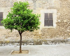 lime tree (itsabreeze) Tags: street old tree stone wall wooden spain mediterranean shutters lime pollensa majorca