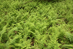 Repeating Patterns Ferns (osiristhe) Tags: nature hiking wv efs1855mmf3556is canonxsi