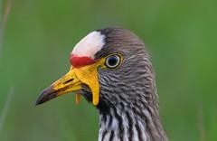 African Wattled Lapwing (Vanellus senegallus) (Ian N. White) Tags: southafrica rustenburg africanwattledlapwing vanellussenegallus kgaswanemountainreserve
