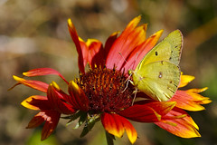 Sulfur Butterfly on Gallardia