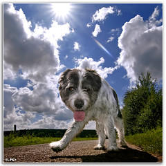 Backlit Bully (Edgar Thissen) Tags: sky dog sun 20d dogs nature backlight clouds canon bravo belgium ardennes wideangle explore bully 1224mm ozo naturesfinest pgphotography mioritic magicdonkey edgarthissen 26230 abigfave bratanesque