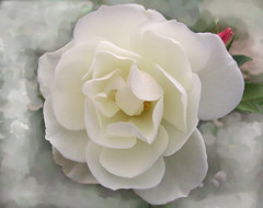 13053 Frozen white rose     mu hng     over 24 000 views (Rolye) Tags: flowers france flower ice nature fleur fleurs photoshop frozen photo yahoo google interesting flickr view shot image photos shots live picture jardin samsung blumen www images havre technorati freeze views bloglines msn 1001nights aol baidu thebest ops hoa smorgasbord iekler lehavre  imagesgooglecom      flickrphotos    yahoophotos  nv7 pentaxk10d platinumphoto samsungnv7ops nv7ops  flirckdiamond naturewatcher attnet goldstaraward imagesyahoocom flickrestrellas rolye  taggalaxycom sinogoo