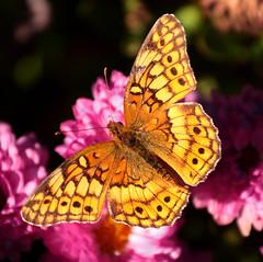 Fall Butterfly (avpjack) Tags: pink autumn halloween beautiful yellow bush moth sunny mum charlottesville naturesfinest outstandingshots animalkingdomelite mywinners abigfave worldbest anawesomeshot diamondclassphotographer flickrdiamond vividmasters buzznbugz excapturemacro
