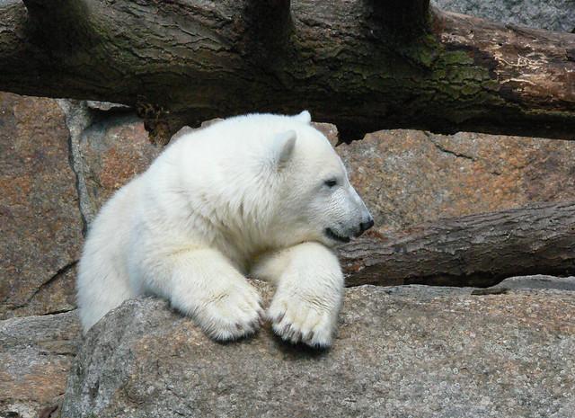 07142007柏林動物園Knut 5