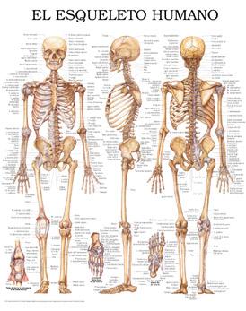 esqueleto humano em 3 posi es