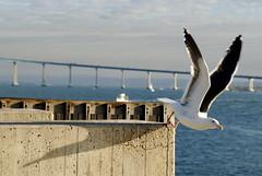 Lift Off (Mark Ramelb Photography) Tags: seagull coronadobridge