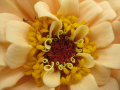 Zinnia in Detail (-caz-) Tags: brown flower macro yellow canon australian cream australia brisbane ixus queensland zinnia amateur flowercloseup fff macroflowers macroflower macrophotosnolimits canonixus75 freeflickrflowers