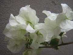 white miracle (MadalenaPestana) Tags: autumn white flower green portugal wall december lisboa abigfave anawesomeshot madalenapestana diamondclassphotographer naturewatcher top20white top20everlasting freesecretlife