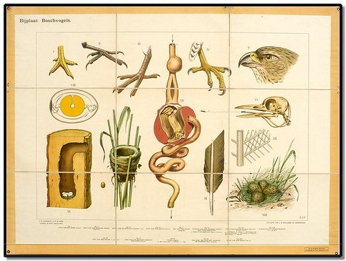 Bird - Zoological Wallcharts 1900-1950