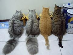 EPSN3855_1 (jacky elin) Tags: cats home cat lin wei jacky jammy