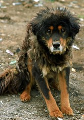Paryang;The beaten dog (reurinkjan) Tags: tibet 2007 paryang janreurink
