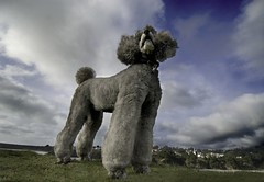 Behind Every Cloud (jimheid) Tags: clouds silver sophie clean poodle mendocino 12mm finally bestinshow standardpoodle silverlining anawesomeshot