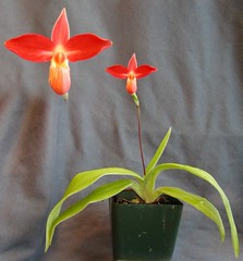 Phragmipedium besseae 'Fire Hot' X 'B' (Aeranthes) Tags: orchid orchids orchidaceae phragmipedium ladyslipper ladysslipper slipperorchid phragmipediumbesseae besseae slipperorchids