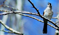 (Rainbowfukinbright) Tags: bird nature feathers titmouse