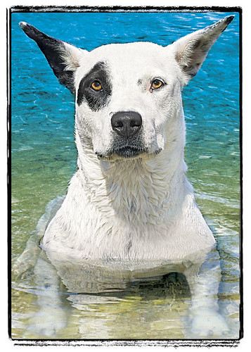 "Pit Bull Mix [dog greeting card] ""Molly"""